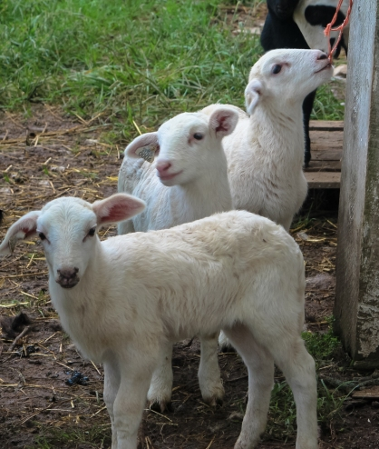 3 lambs, LR adjusted